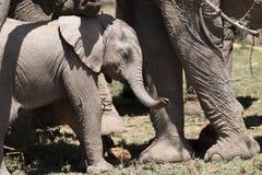 Elefante del bebé en sol Imágenes de archivo libres de regalías