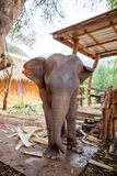 Elefante del bebé encadenado en el camping del elefante en Kanchanaburi, Tailandia 15 de febrero de 2012 fotografía de archivo libre de regalías