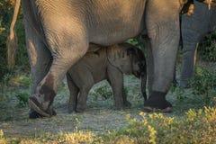 Elefante del bebé que camina entre las piernas del adulto Foto de archivo