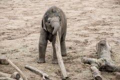 Elefante del bebé que juega con el pequeño registro Fotos de archivo