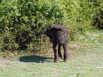Elefante del bebé que salta traviesamente en el arbusto verde imagen de archivo
