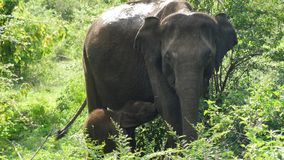 Elefante del bebé y su madre en Sri Lanka Imagenes de archivo
