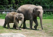 Elefante del bebé y su mama en el parque zoológico Fotos de archivo libres de regalías