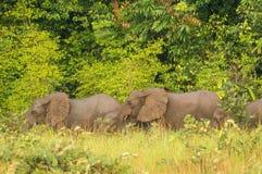 Elefante del bosque y x28; Cyclotis& x29 del Loxodonta; en Congo, reserva de Conkouati Imágenes de archivo libres de regalías