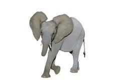 Elefante del cabrito fotografía de archivo