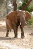 Elefante del deserto immagini stock
