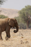 Elefante del deserto fotografia stock