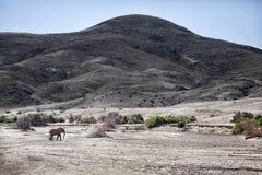 Elefante del deserto che cammina in Purros, Kaokoland, regione di Kunene nafta Paesaggio arido immagine stock libera da diritti