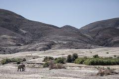 Elefante del deserto che cammina in Purros, Kaokoland, regione di Kunene nafta Paesaggio arido nel letto di fiume fotografie stock