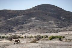 Elefante del deserto, regione di Kunene nafta fotografie stock