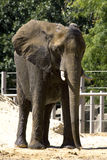 Elefante del parque zoológico Fotos de archivo