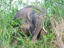 Elefante del pigmeo del Borneo immagine stock