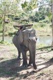 Elefante del trasporto Immagine Stock