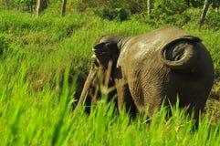 Elefante dell'Asia Fotografia Stock
