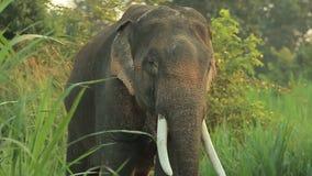 Elefante dell'Asia sul parco archivi video