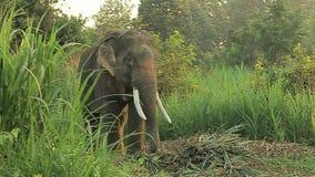 Elefante dell'Asia sul parco stock footage