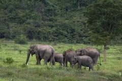 Elefante dell'Asia in Tailandia Immagine Stock Libera da Diritti