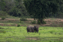 Elefante dell'Asia in Tailandia Fotografie Stock Libere da Diritti