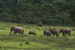 Elefante dell'Asia in Tailandia Immagine Stock