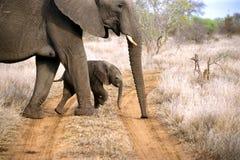 Elefante della bambina che attraversa la strada Fotografie Stock