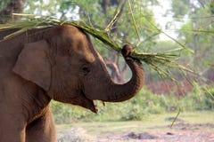 Elefante della madre che dà uno schiaffo agli insetti Fotografia Stock