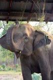 Elefante della madre che dà uno schiaffo agli insetti Immagini Stock Libere da Diritti