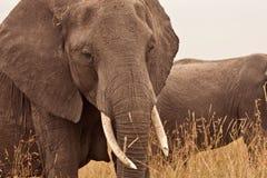 Elefante della mummia nel Kenia Fotografie Stock