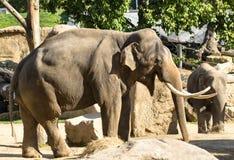 Elefante della sosta nel giardino zoologico di Mysore Fotografia Stock