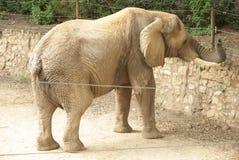 Elefante della sosta nel giardino zoologico di Mysore Fotografia Stock Libera da Diritti