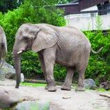 Elefante della sosta nel giardino zoologico di Mysore Immagini Stock Libere da Diritti