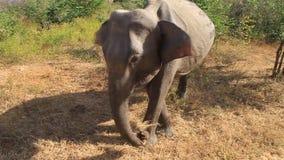 Elefante dello Sri Lanka stock footage