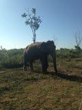 Elefante dello Sri Lanka Immagine Stock