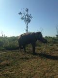 Elefante dello Sri Lanka Immagine Stock Libera da Diritti