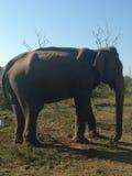 Elefante dello Sri Lanka Fotografia Stock Libera da Diritti