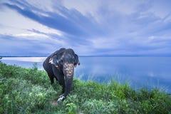 Elefante dello Sri Lanka nel parco nazionale di Uda Walawe, Sri Lanka Fotografia Stock
