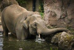 Elefante dello zoo di cattività Immagine Stock