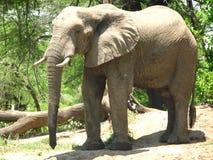 Elefante derecho Imágenes de archivo libres de regalías