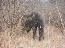 Elefante detrás del árbol Fotografía de archivo libre de regalías