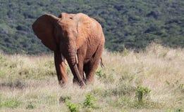 Elefante di Bull africano selvaggio Fotografie Stock Libere da Diritti