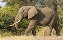 Elefante di Bull, Sudafrica immagini stock