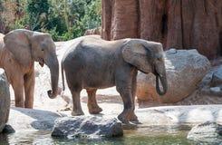 Elefante di Bush dell'Africano Fotografia Stock