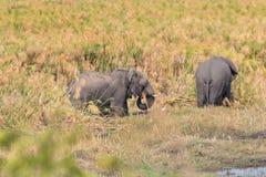 Elefante di camminata Fotografie Stock