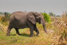 Elefante di camminata Botswana Fotografia Stock