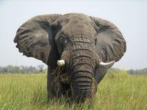 Elefante di delta di Okavango Fotografia Stock Libera da Diritti
