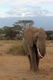 Elefante di Kilimanjaro Fotografie Stock