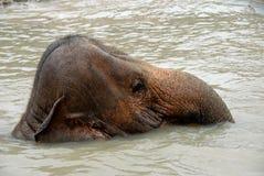 Elefante di nuoto Immagine Stock Libera da Diritti