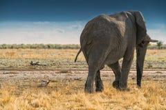 Elefante di nuovo alla passeggiata sulla savana africana di Etosha nafta immagine stock libera da diritti
