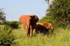 Elefante di rosso del Kenya Fotografia Stock Libera da Diritti