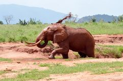 Elefante di rosso del ` s del Kenya Fotografie Stock