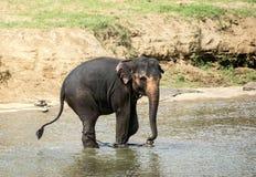 Elefante di toro Fotografie Stock